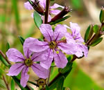 picture of Lythrum alatum, image of Lythrum alatum var. alatum, photograph of -