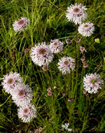 picture of Marshallia tenuifolia, image of Marshallia graminifolia var. cynanthera, photograph of -