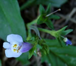 picture of Mazus pumilus, image of Mazus pumilus, photograph of Mazus japonicus