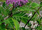 picture of Mimosa strigillosa, image of Mimosa strigillosa, photograph of -
