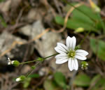 picture of Minuartia patula, image of Minuartia patula, photograph of -