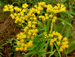 picture of Solidago riddellii, image of Oligoneuron riddellii, photograph of -