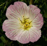 picture of Oenothera speciosa, image of Oenothera speciosa, photograph of Oenothera speciosa
