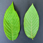 picture of Ostrya virginiana, image of Ostrya virginiana var. virginiana, photograph of Ostrya virginiana