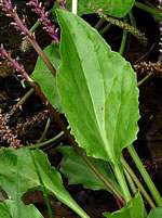 picture of Plantago cordata, image of Plantago cordata, photograph of Plantago cordata