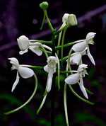 picture of Platanthera integrilabia, image of Platanthera integrilabia, photograph of Habenaria blephariglottis var. integrilabia