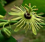 picture of Passiflora lutea, image of Passiflora lutea, photograph of Passiflora lutea