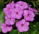 picture of Phlox maculata var. maculata, image of Phlox maculata ssp. maculata, photograph of -