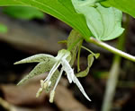 picture of Prosartes maculata, image of Prosartes maculata, photograph of Disporum maculatum