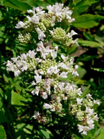 picture of Pycnanthemum virginianum, image of Pycnanthemum virginianum, photograph of Pycnanthemum virginianum