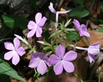 picture of Phlox pilosa, image of Phlox pilosa +, photograph of Phlox pilosa