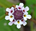 picture of Phyla nodiflora, image of Phyla nodiflora, photograph of Lippia nodiflora