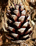 picture of Pinus glabra, image of Pinus glabra, photograph of Pinus glabra