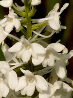 picture of Platanthera nivea, image of Platanthera nivea, photograph of Habenaria nivea