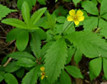 picture of Potentilla simplex, image of Potentilla simplex, photograph of Potentilla simplex