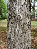 picture of Quercus oglethorpensis, image of Quercus oglethorpensis, photograph of Quercus oglethorpensis