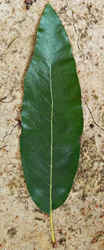 picture of Quercus imbricaria, image of Quercus imbricaria, photograph of Quercus imbricaria