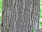 picture of Quercus macrocarpa var. macrocarpa, image of Quercus macrocarpa var. macrocarpa, photograph of -