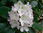 picture of Rhododendron maximum, image of Rhododendron maximum, photograph of Rhododendron maximum