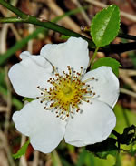 picture of Rosa luciae, image of Rosa wichuraiana, photograph of Rosa wichuraiana