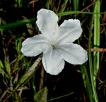 picture of Ruellia noctiflora, image of Ruellia noctiflora, photograph of -
