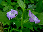 picture of Ruellia strepens, image of Ruellia strepens, photograph of Ruellia strepens