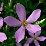 picture of Sabatia angularis, image of Sabatia angularis, photograph of Sabatia angularis