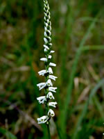 picture of Spiranthes lacera var. gracilis, image of Spiranthes lacera var. gracilis, photograph of Spiranthes gracilis var. gracilis