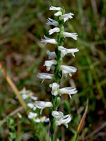 picture of Spiranthes magnicamporum, image of Spiranthes magnicamporum, photograph of -