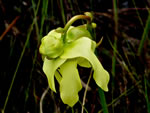 picture of Sarracenia minor var. minor, image of Sarracenia minor, photograph of Sarracenia minor