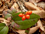 picture of Smilax pumila, image of Smilax pumila, photograph of Smilax pumila