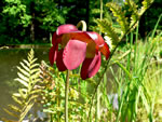 picture of Sarracenia purpurea var. purpurea, image of Sarracenia purpurea ssp. gibbosa, photograph of Sarracenia purpurea