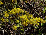 picture of Solidago speciosa var. rigidiuscula, image of Solidago speciosa var. rigidiuscula, photograph of -