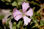 picture of Silene catesbaei, image of Silene polypetala, photograph of -