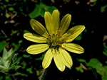 picture of Silphium mohrii, image of Silphium mohrii, photograph of -