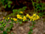 picture of Solidago auriculata, image of Solidago auriculata, photograph of Solidago notabilis