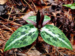 picture of Trillium underwoodii, image of Trillium underwoodii, photograph of -