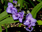 picture of Tradescantia virginiana, image of Tradescantia virginiana, photograph of Tradescantia virginiana