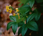 picture of Thermopsis mollis, image of Thermopsis mollis, photograph of Thermopsis mollis
