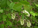 picture of Prunus virginiana var. virginiana, image of Prunus virginiana var. virginiana, photograph of Prunus virginiana