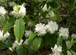 picture of Rhododendron carolinianum, image of Rhododendron carolinianum, photograph of Rhododendron minus