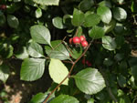 picture of Crataegus ashei, image of Crataegus harbisonii, photograph of -