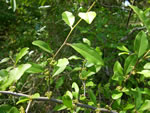 picture of Sideroxylon thornei, image of Sideroxylon thornei, photograph of -