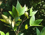 picture of Carya floridana, image of Carya floridana, photograph of -