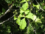 picture of Cissus trifoliata, image of Cissus trifoliata, photograph of -