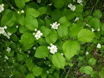 picture of Crataegus triflora, image of Crataegus triflora, photograph of -