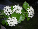 picture of Viburnum bracteatum, image of Viburnum bracteatum, photograph of -