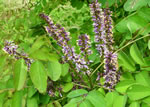picture of Amorpha glabra, image of Amorpha glabra, photograph of Amorpha glabra