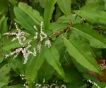 picture of Persicaria wallichii var. wallichii, image of Polygonum polystachyum, photograph of -