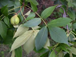picture of Carya texana, image of Carya texana, photograph of -